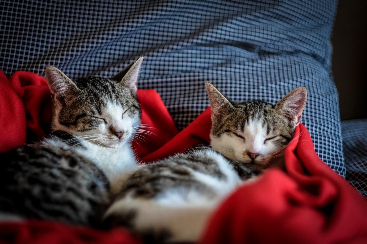 Vermifuge chat avec spot-on